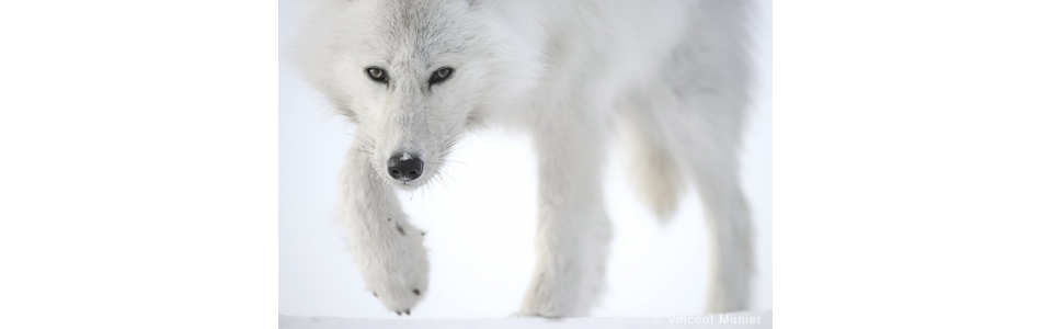 Top Photo art : all the photographs by Vincent Munier - PHOTOBY QM12