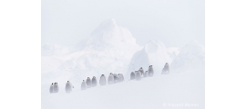 Penguins by Vincent Munier