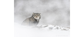 Pallas cat by Vincent Munier