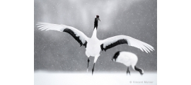 Cranes by Vincent Munier