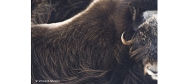 Musk oxen by Vincent Munier