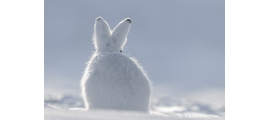 Other mammals by Vincent Munier