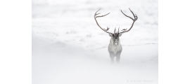 Reindeer by Vincent Munier