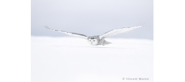 Snowy owl by Vincent Munier