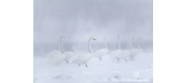 Whooper swans by Vincent Munier