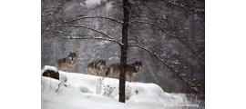 Gray wolves by Jim Brandenburg